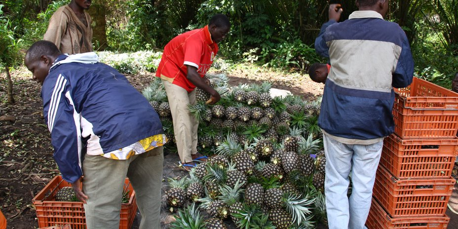Picking pineapples in Togo