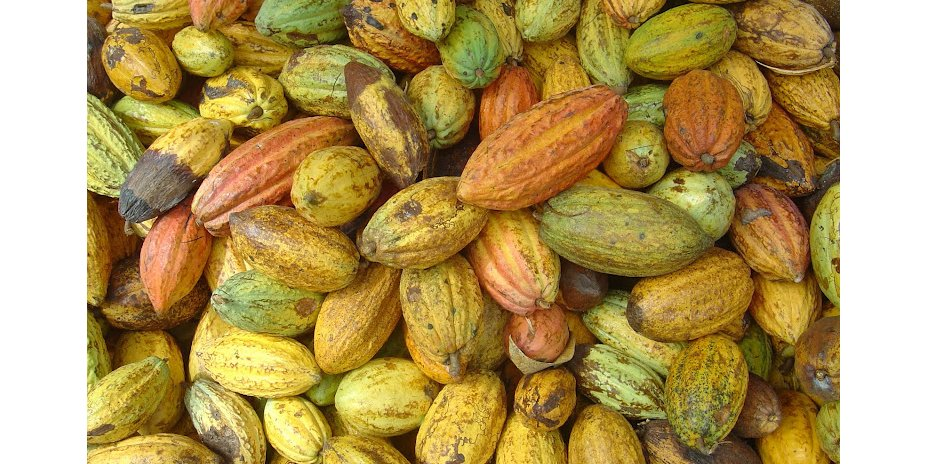 Picked cacao fruit