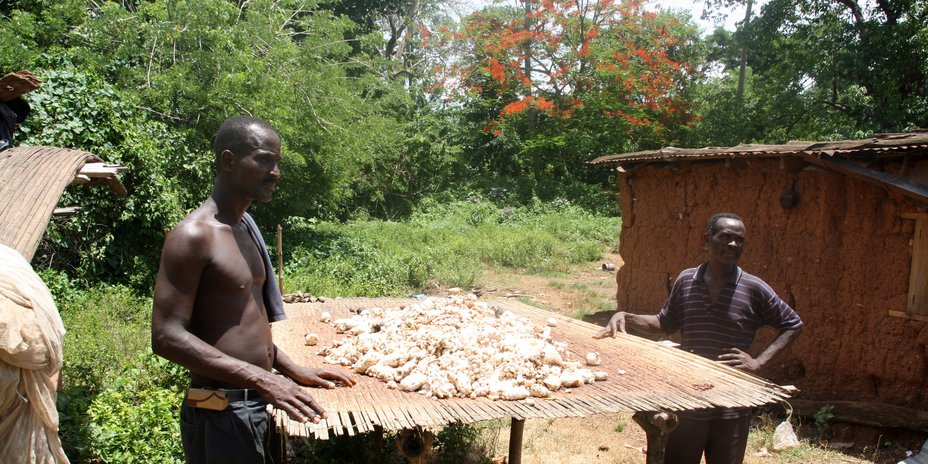 Cacao harvest in Togo